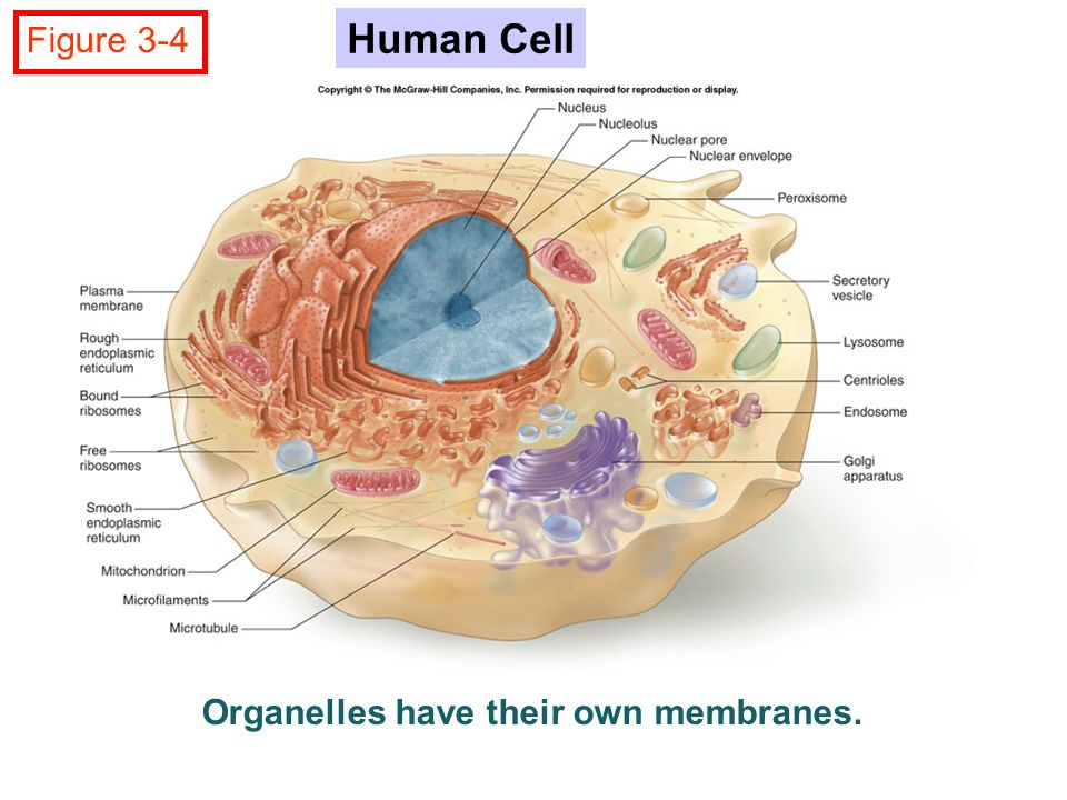 Human Cell Structure And Function Chapter 3 Cell structu...