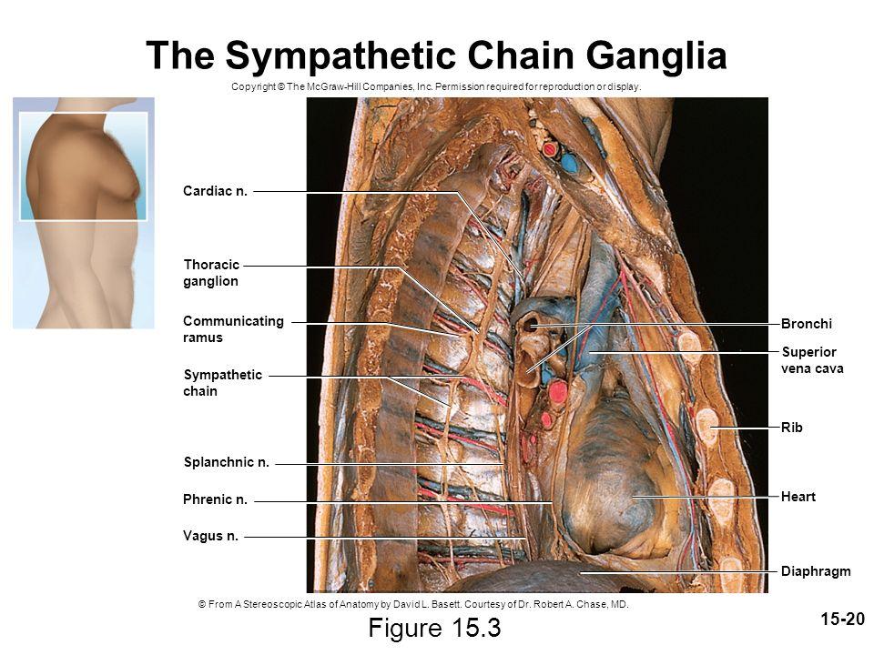 Sympathetic Ganglion Ecosia
