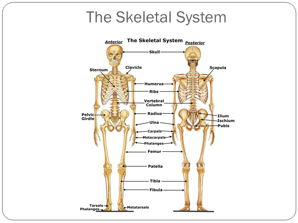Muscular & Skeletal Systems - ppt video online download