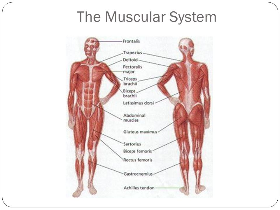 Muscular & Skeletal Systems - ppt video online download