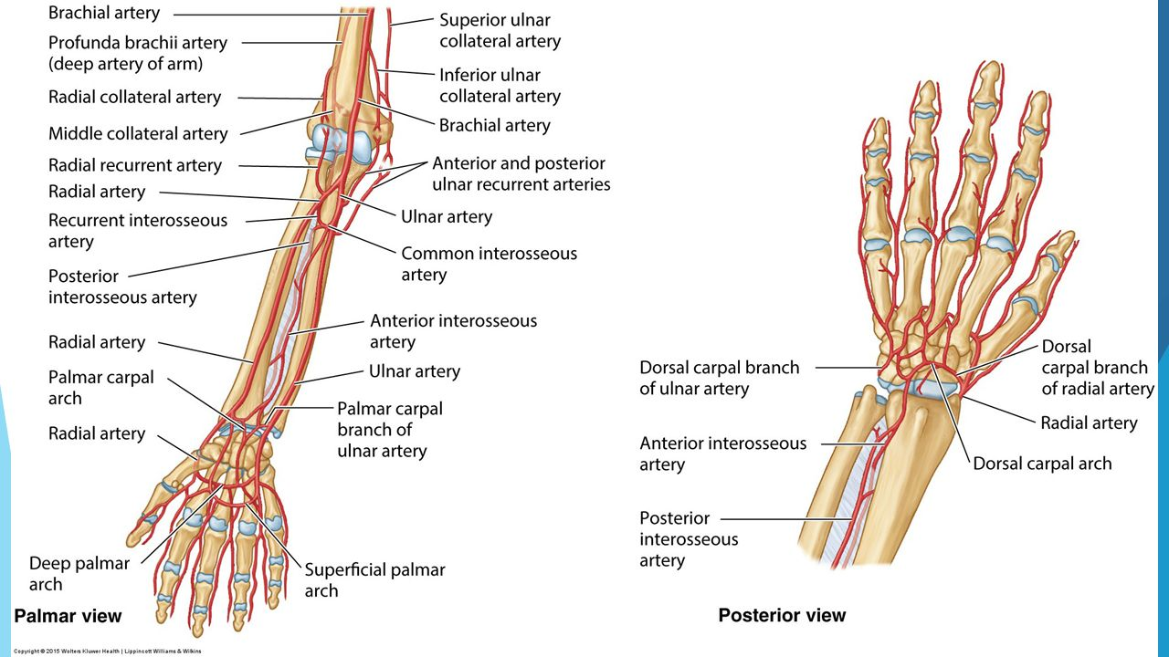 Hand Musculature and Vasculature, Cross sections, Review - ppt video ...
