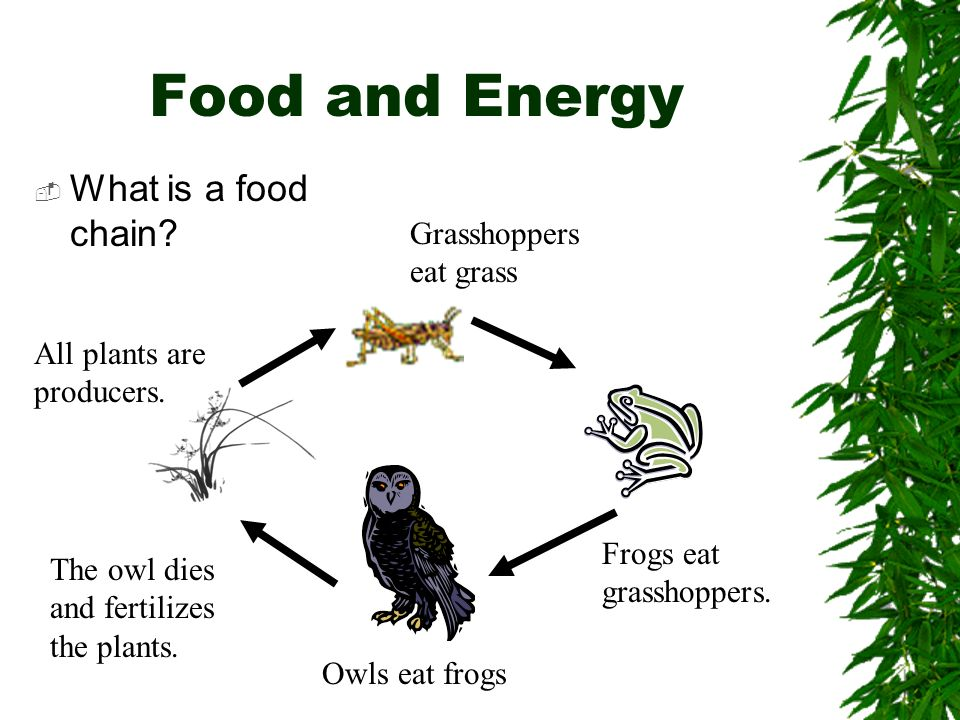 Food and Energy What is a food chain Grasshoppers eat grass