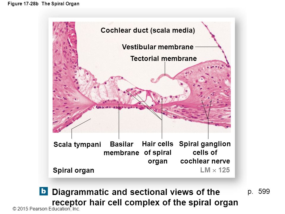 figure the anatomy of the ear ppt video online download cochlea spiral diagram get wiring diagram