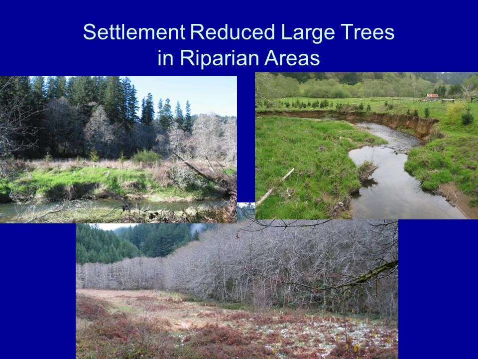 Settlement Reduced Large Trees in Riparian Areas
