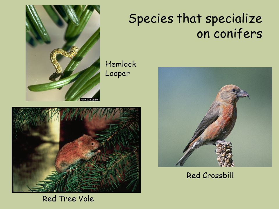 Species that specialize on conifers