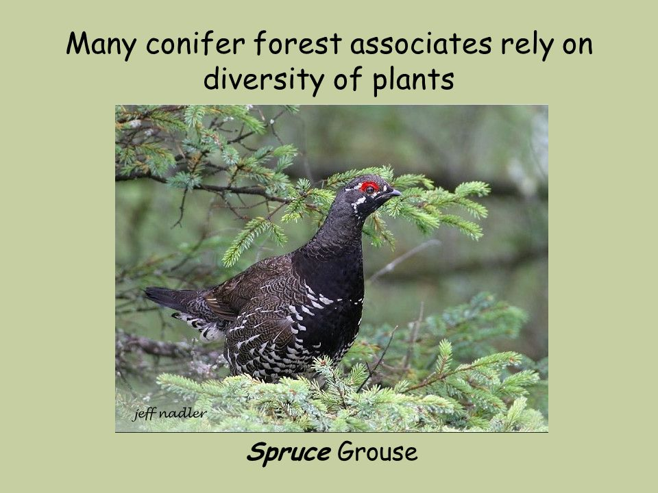 Many conifer forest associates rely on diversity of plants