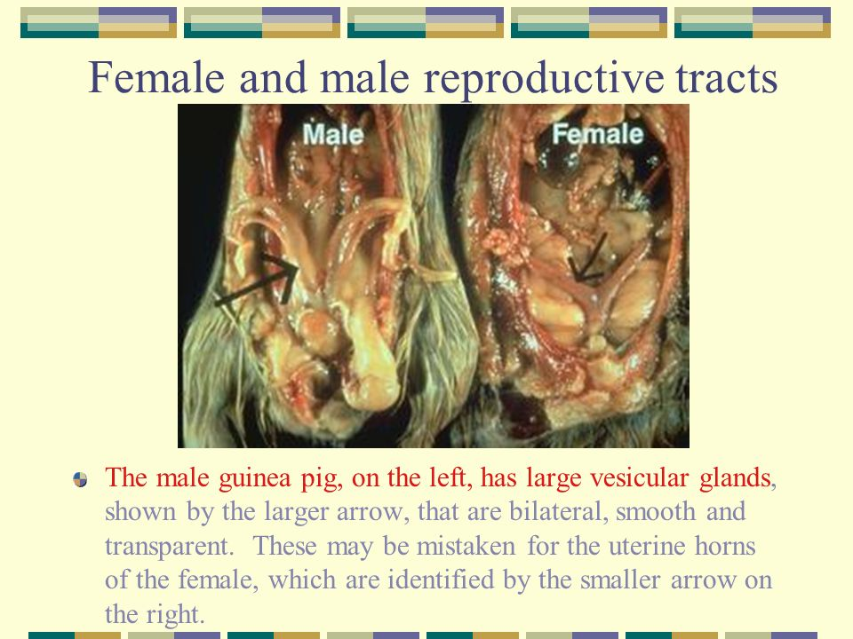 Colorful Male Guinea Pig Anatomy Images - Anatomy And Physiology ...