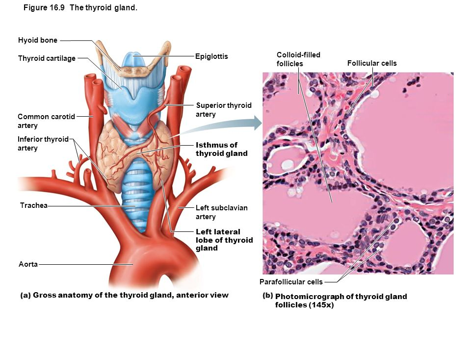 Gross Anatomy of Thyroid Gland - ppt download