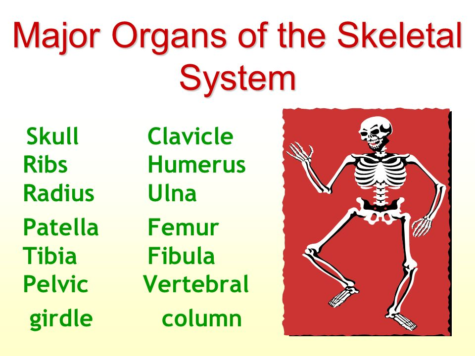 Skeletal System Bones, cartilage, and the special structures that ...