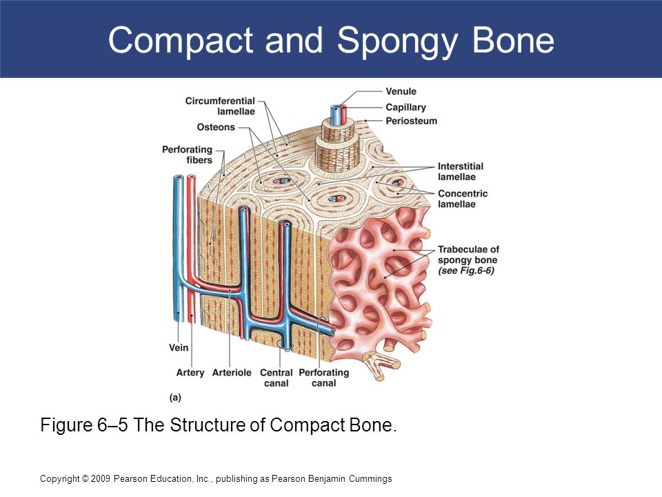 6 Osseous Tissue and Bone Structure C h a p t e r - ppt video online ...