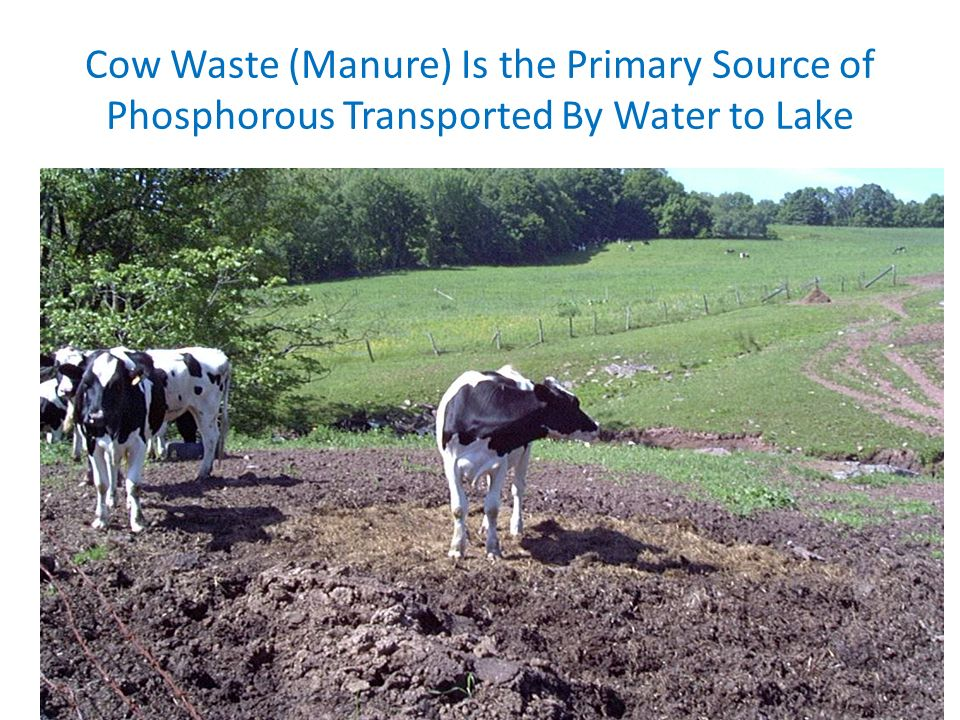 Cow Waste (Manure) Is the Primary Source of Phosphorous Transported By Water to Lake
