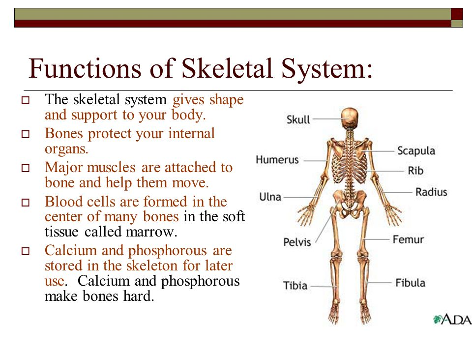 The Skeletal System The skeletal system is the framework of your ...