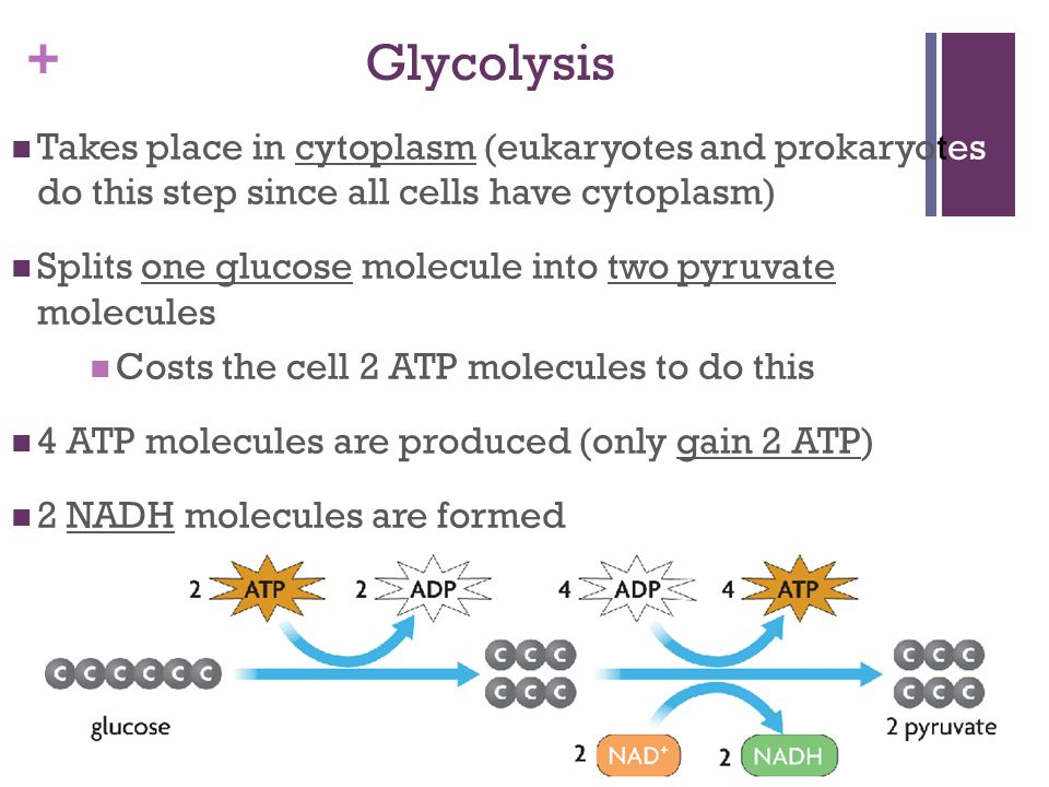 Glycolysis Takes place in cytoplasm (eukaryotes and prokaryotes do this step since all cells have cytoplasm)