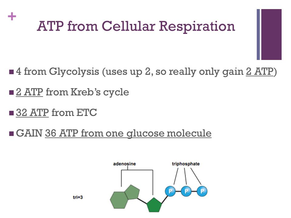 ATP from Cellular Respiration