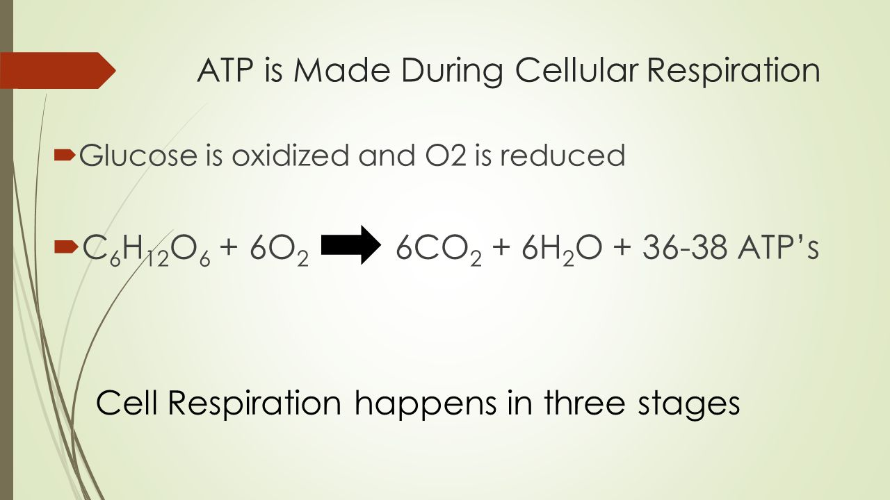 ATP is Made During Cellular Respiration