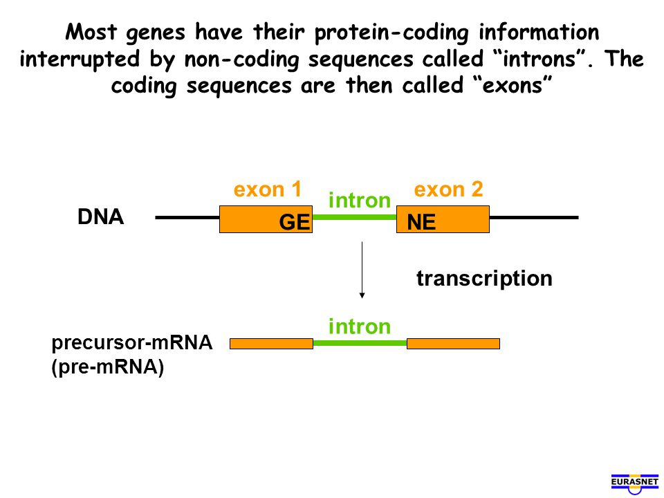 Most genes have their protein-coding information interrupted by non-coding sequences called introns . The coding sequences are then called exons