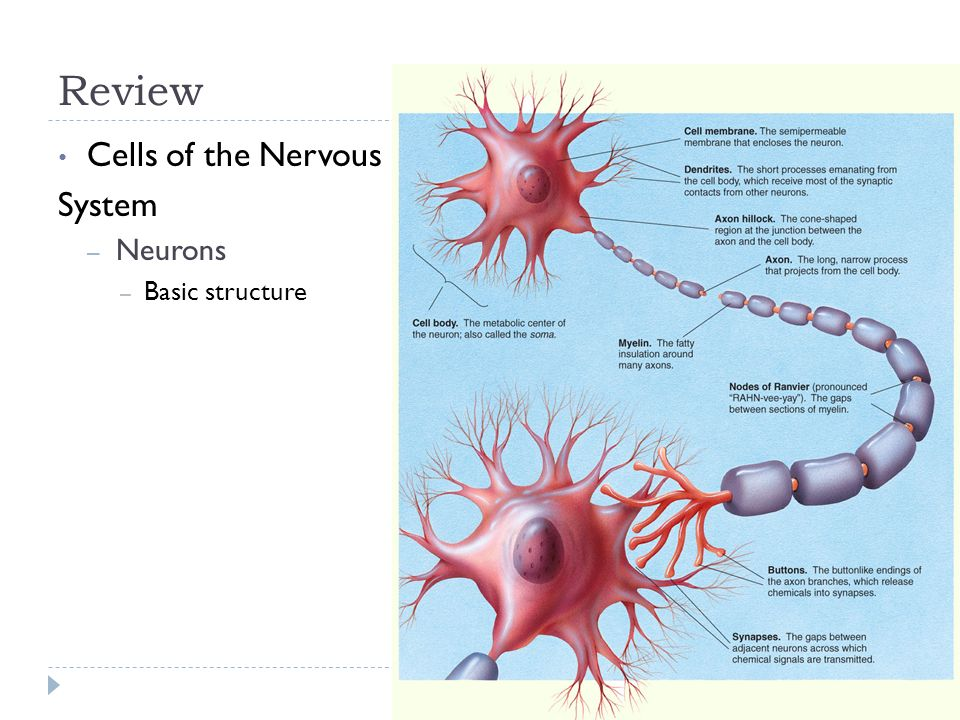 Structure And Functions Of Cells Of The Nervous System Ppt Download