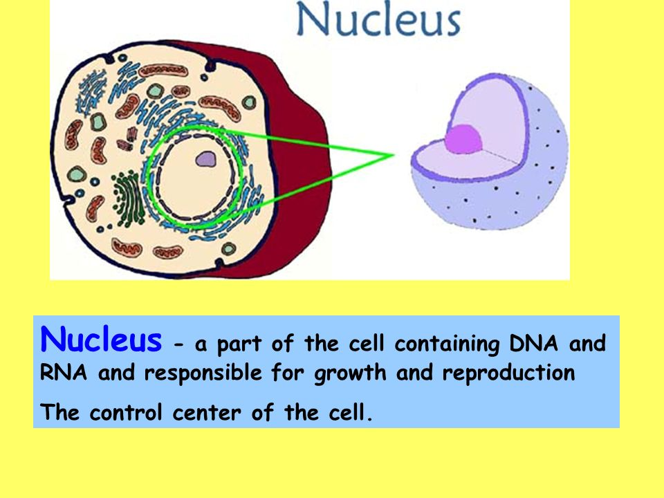 the discovery and news about the cell nucleus The cell nucleus contains the majority of the cell's genetic material in the form of multiple linear dna molecules organized into structures called the mechanism by which egfr communicates growth factor-dependent signals to the cell interior is unknown more about the unicellular and multicellular.
