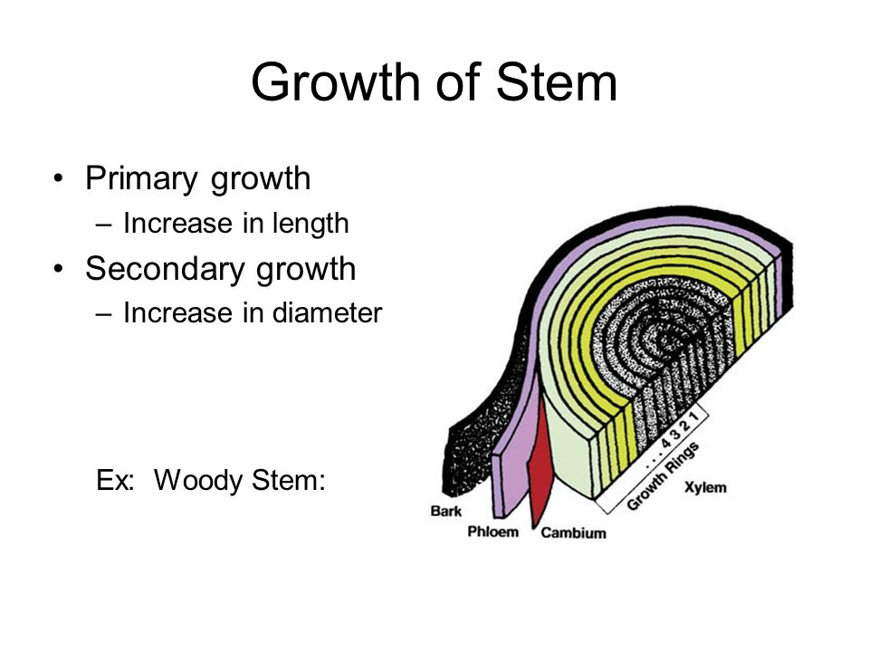 Growth of Stem Primary growth Secondary growth Increase in length