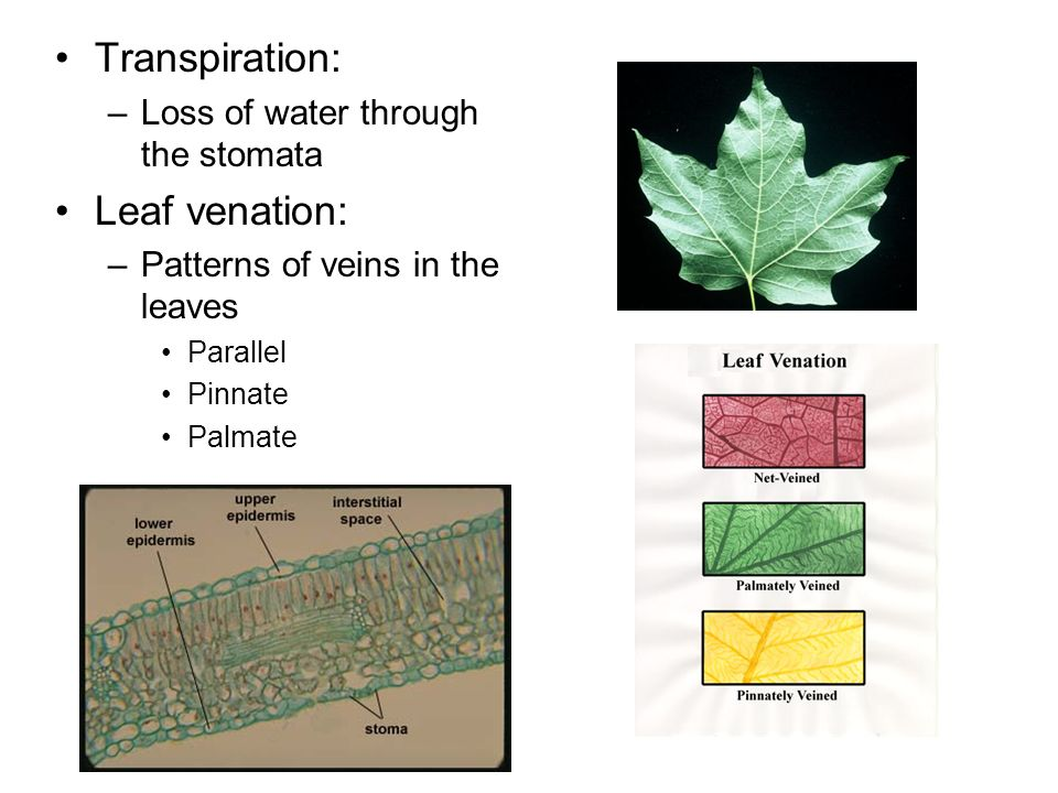 Transpiration: Leaf venation: Loss of water through the stomata