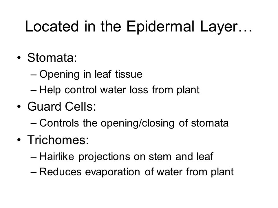 Located in the Epidermal Layer…