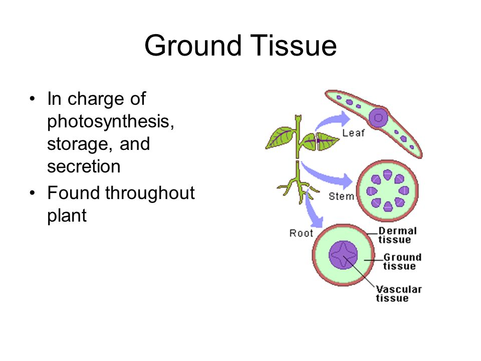 Ground Tissue In charge of photosynthesis, storage, and secretion