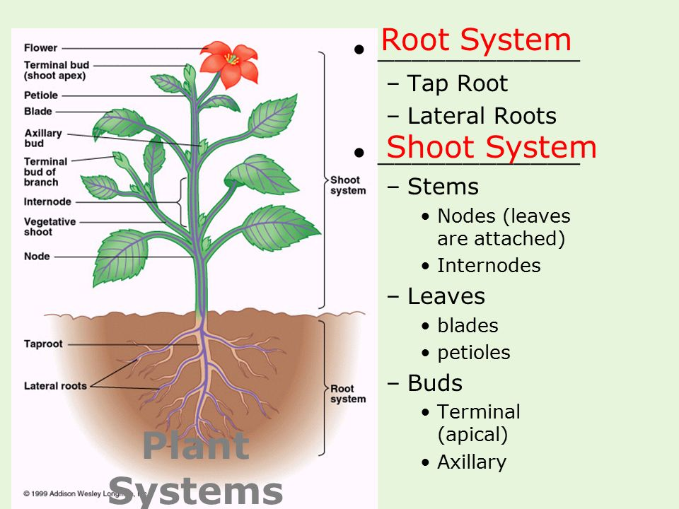 Plant Systems Root System Shoot System ____________ Tap Root