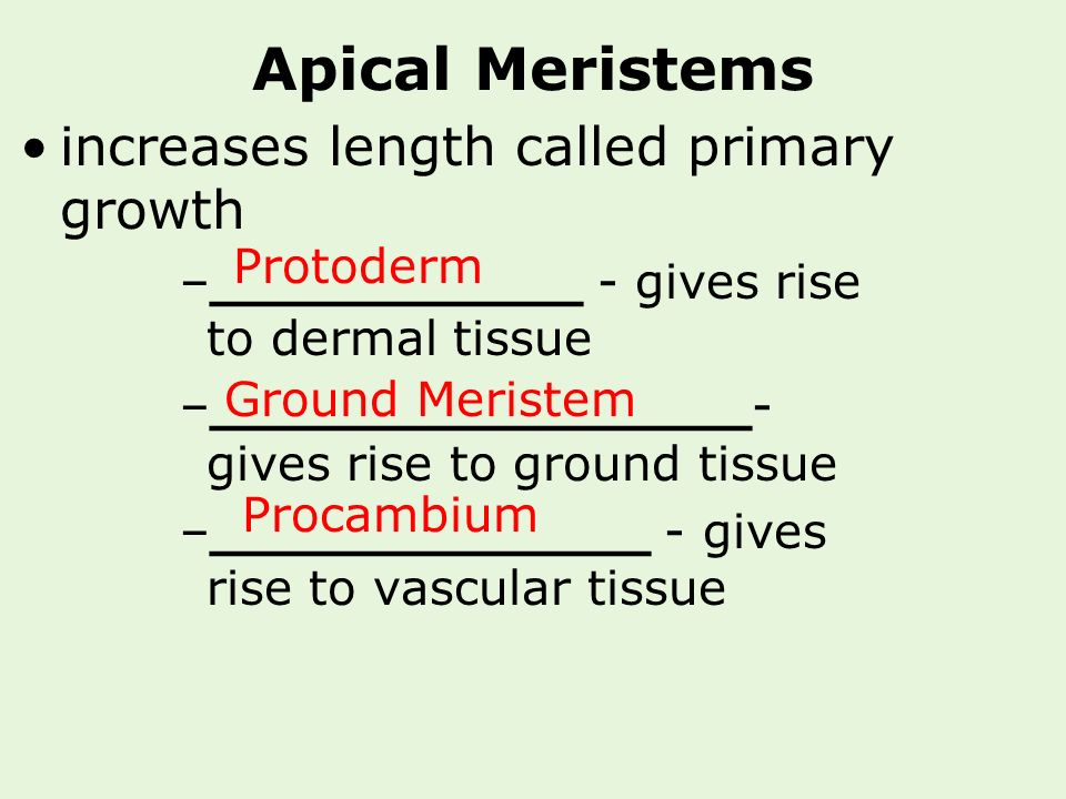 Apical Meristems increases length called primary growth