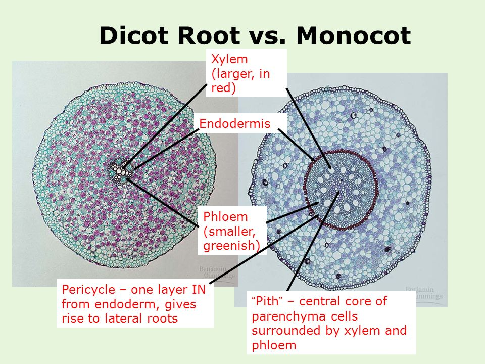 Dicot Root vs. Monocot Xylem (larger, in red) Endodermis