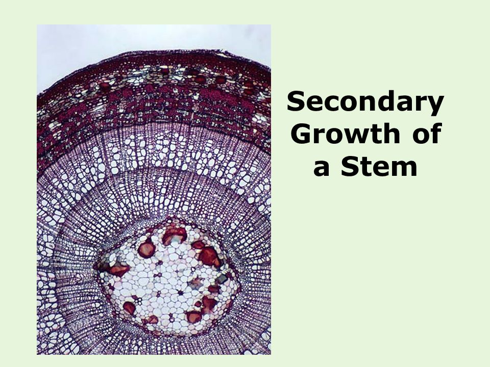 Secondary Growth of a Stem