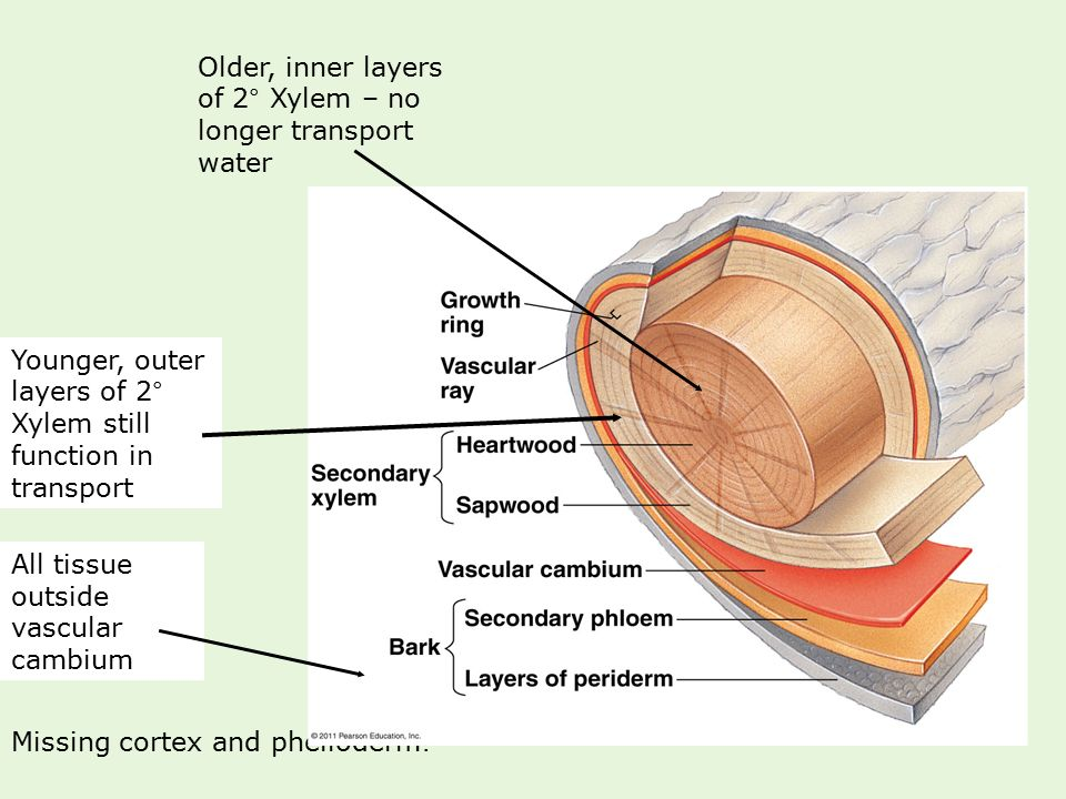 Older, inner layers of 2° Xylem – no longer transport water