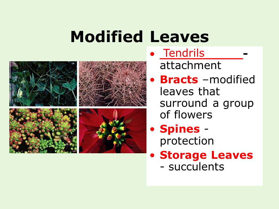 Modified Leaves Tendrils ___________- attachment