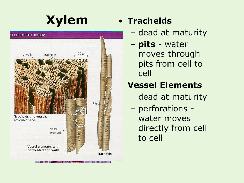 Xylem Tracheids dead at maturity