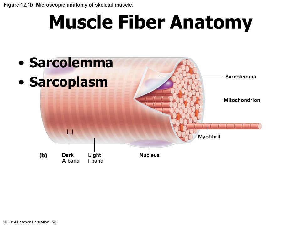 Exercise 14 Microscopic Anatomy Organization And Ppt Video