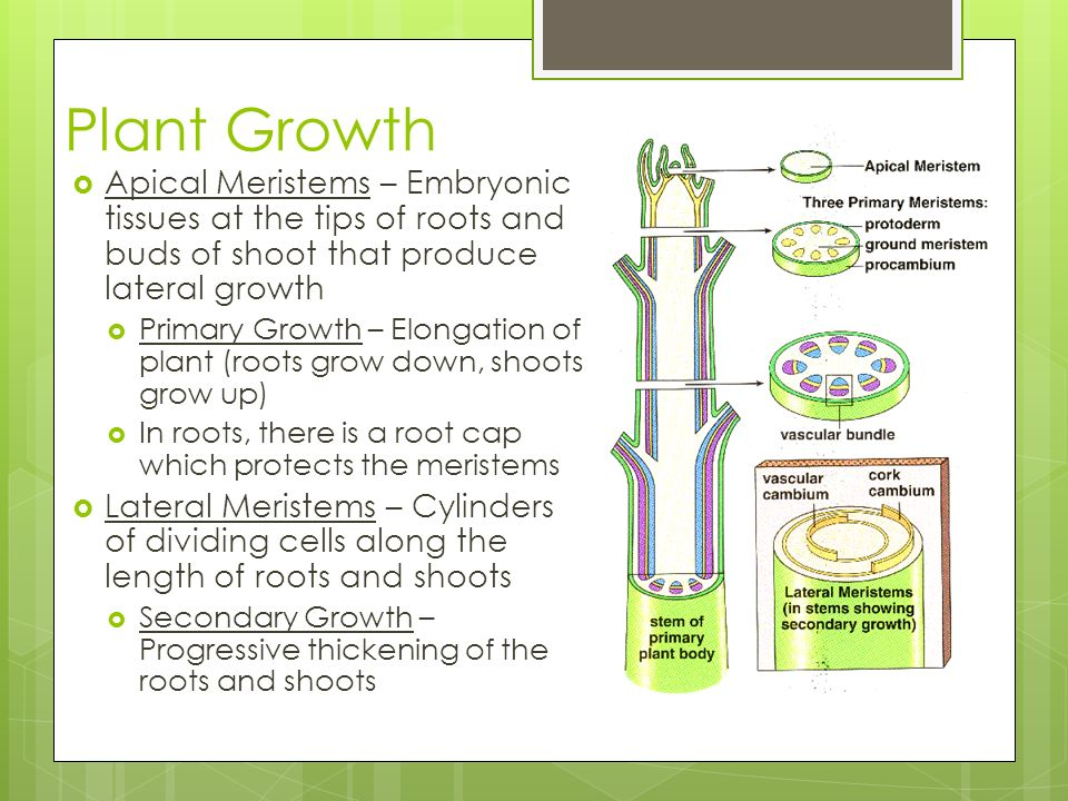 Plant Growth Apical Meristems – Embryonic tissues at the tips of roots and buds of shoot that produce lateral growth.