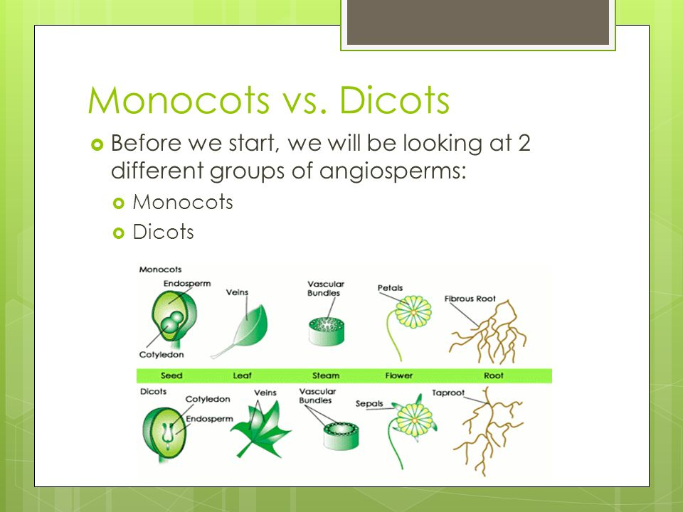 Monocots vs. Dicots Before we start, we will be looking at 2 different groups of angiosperms: Monocots.