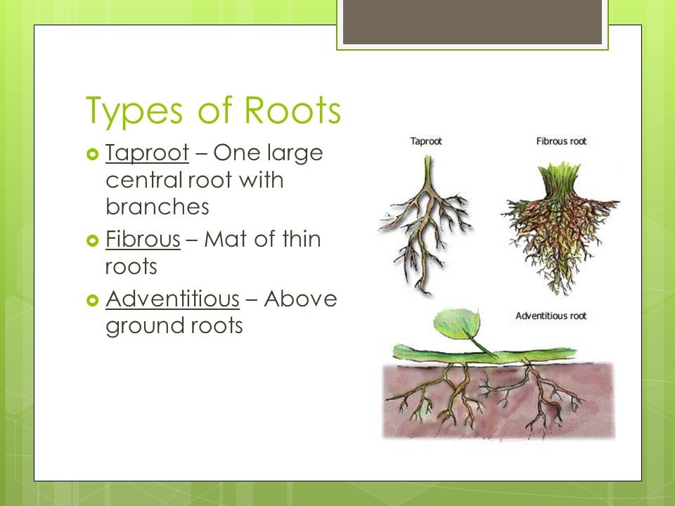 Types of Roots Taproot – One large central root with branches