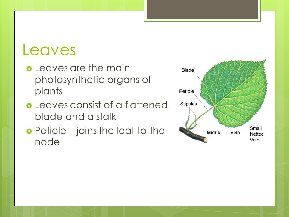 Leaves Leaves are the main photosynthetic organs of plants