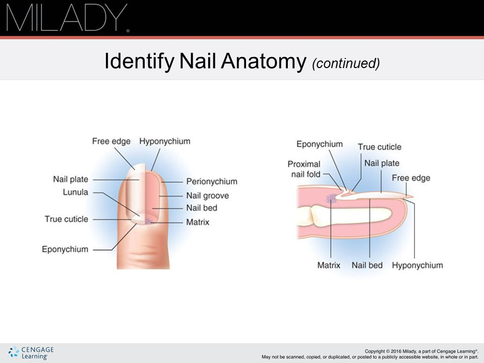 Nail Structure & Growth - ppt video online download