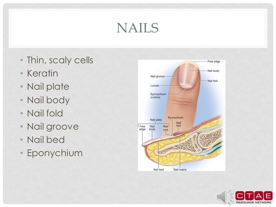 Anatomy of the Hair, Nails, and Skin - ppt download