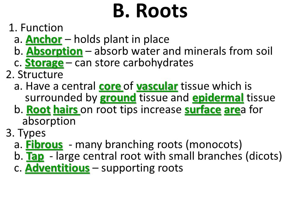 B. Roots 1. Function a. Anchor – holds plant in place
