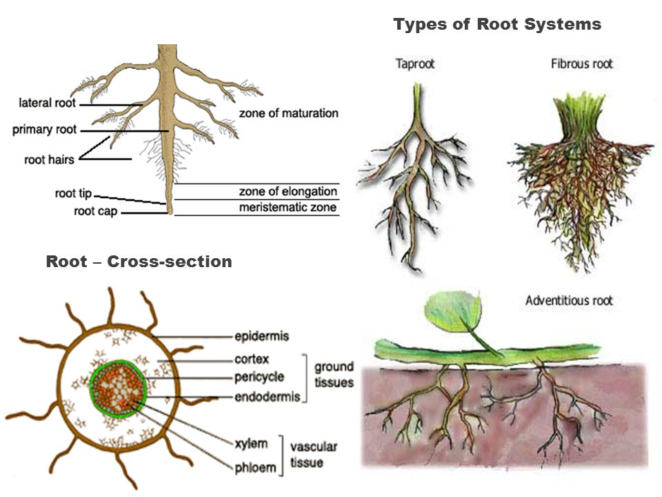 Types of Root Systems Root – Cross-section