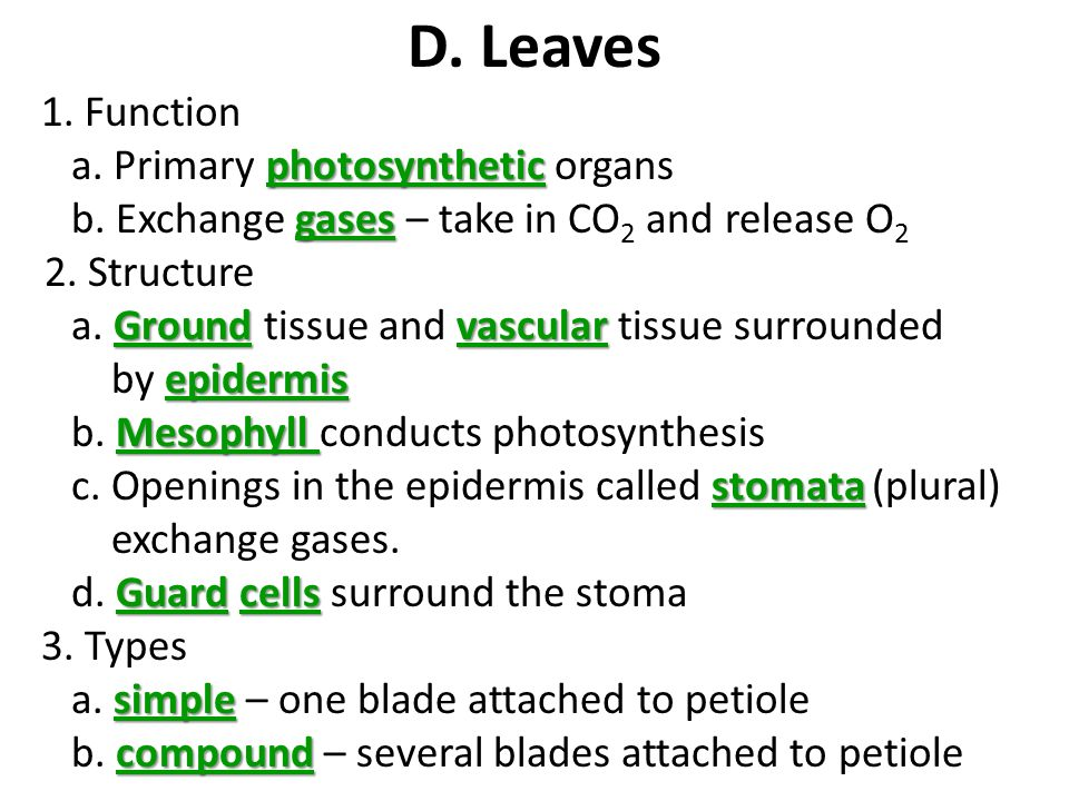 D. Leaves 1. Function a. Primary photosynthetic organs