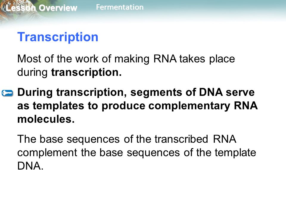 Transcription Most of the work of making RNA takes place during transcription.