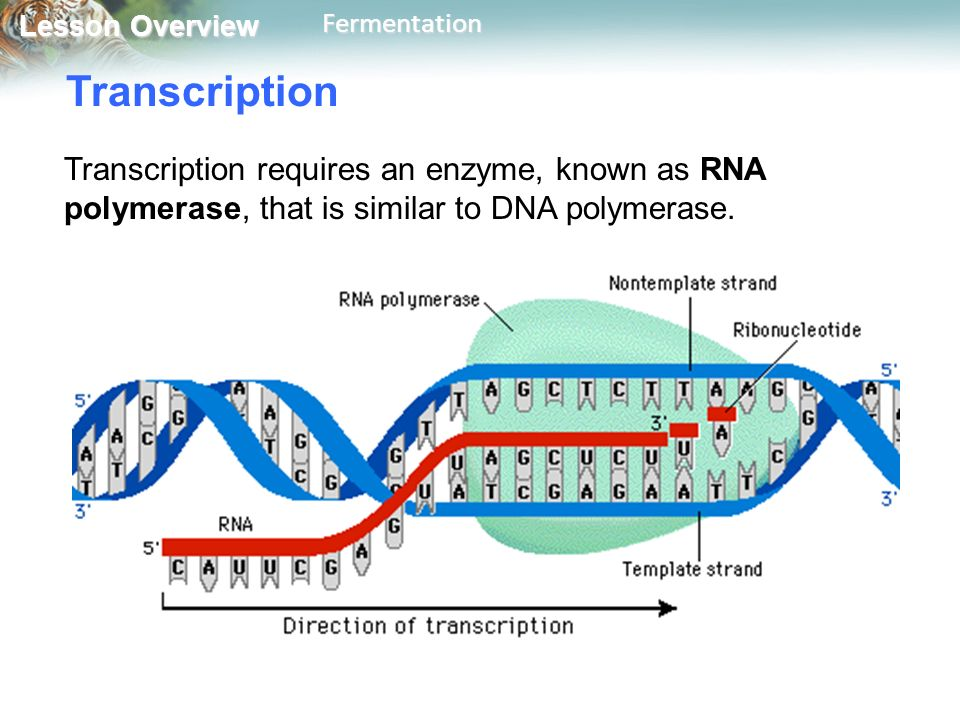 Transcription Transcription requires an enzyme, known as RNA polymerase, that is similar to DNA polymerase.