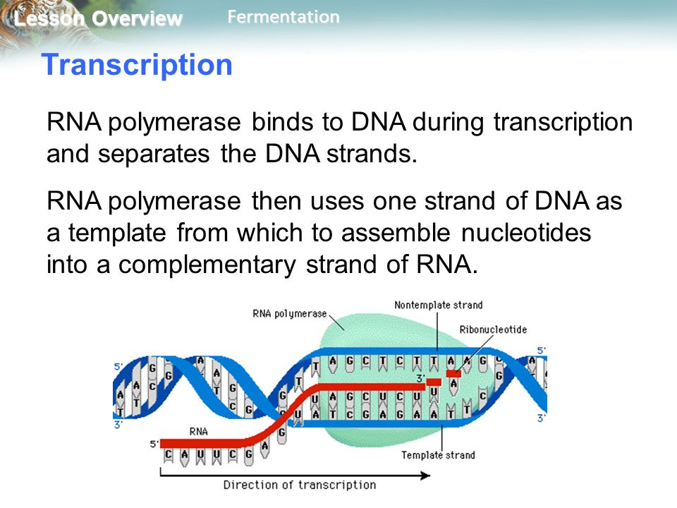 Transcription RNA polymerase binds to DNA during transcription and separates the DNA strands.