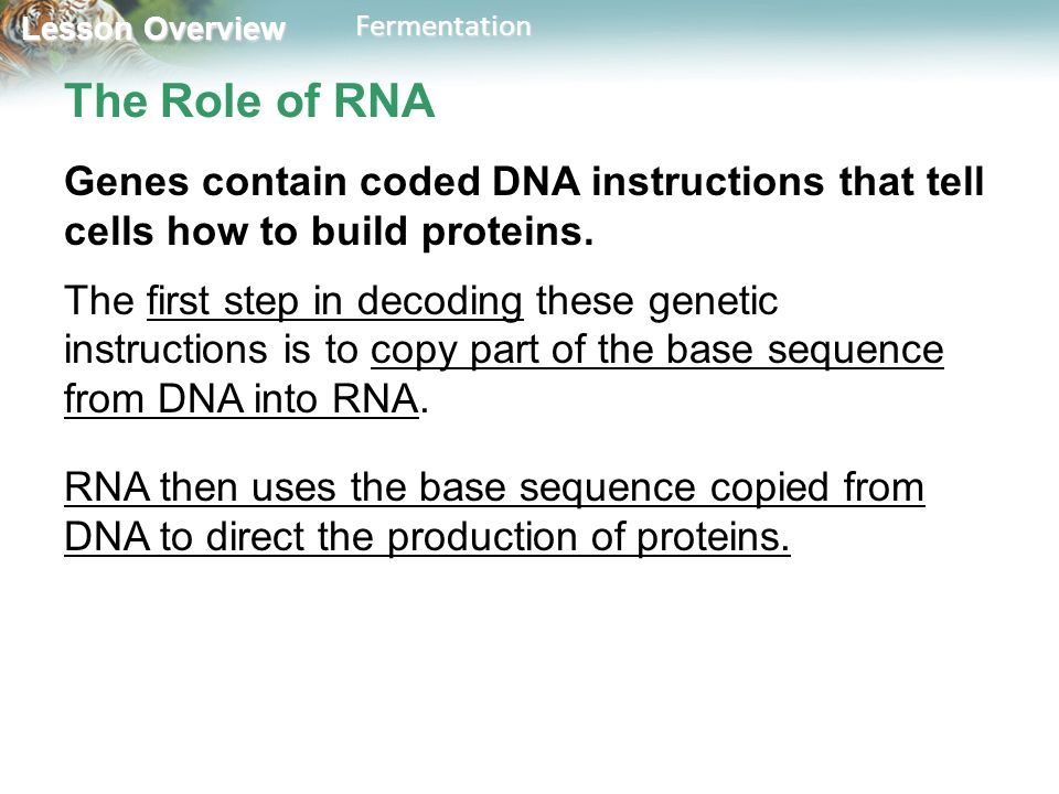 The Role of RNA Genes contain coded DNA instructions that tell cells how to build proteins.