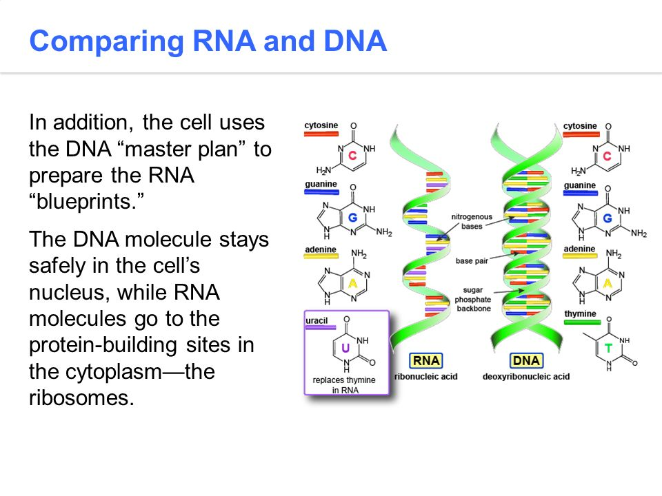 Comparing RNA and DNA In addition, the cell uses the DNA master plan to prepare the RNA blueprints.