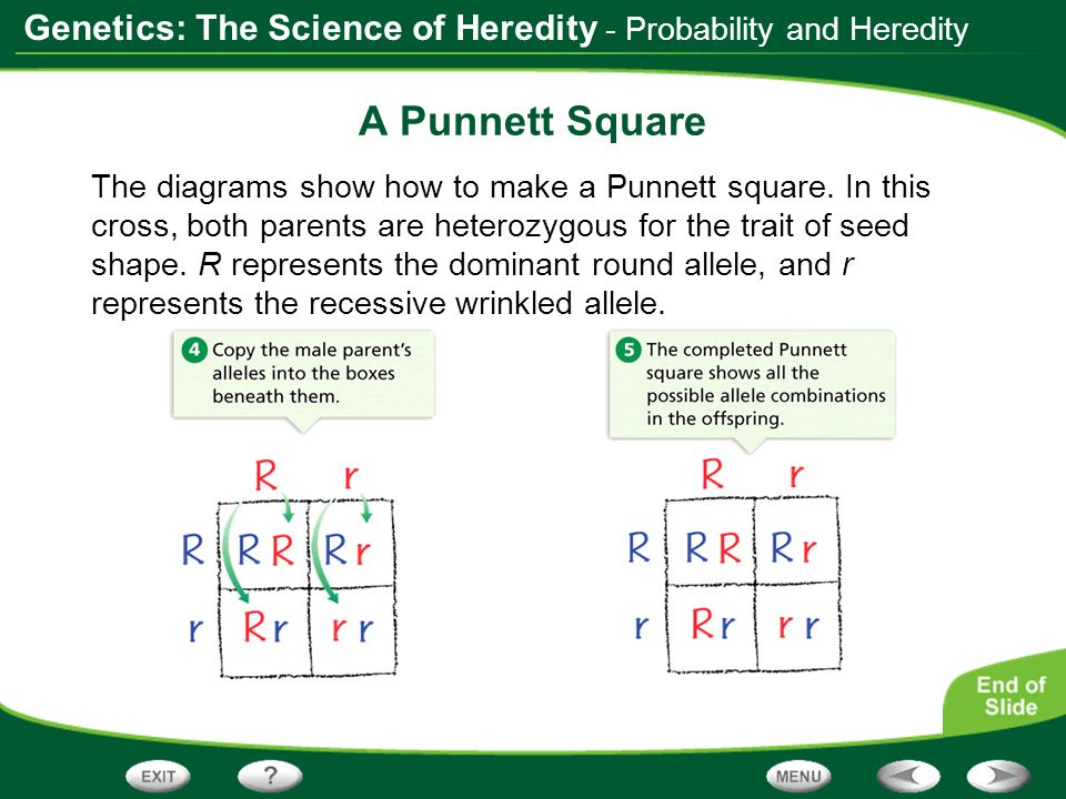 A Punnett Square - Probability and Heredity