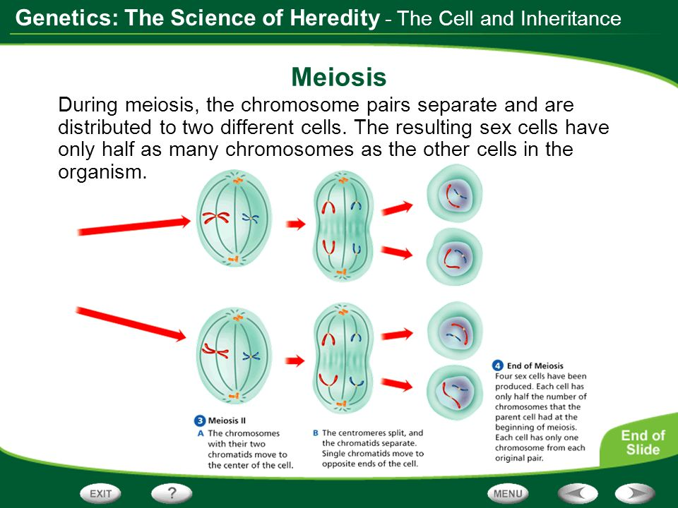 Meiosis - The Cell and Inheritance
